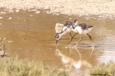 Hawaiian stilt- A`eo chicks