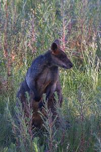 Swamp Wallaby (Wallabia bicolor) - Kara Kara National Park, Victoria
