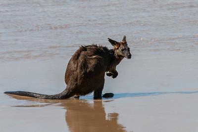 Kangaroo - Lakes Entrance, Victoria
