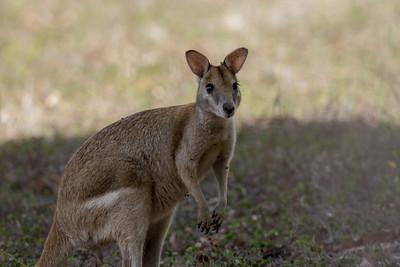 Agile Wallaby - Laura, Queensland