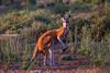 Red Kangaroo (Macropus rufus) - Gluepot, South Australia