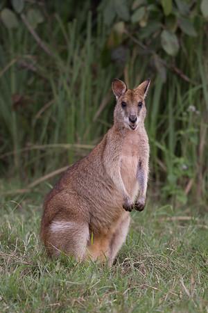 Wallaby - Tyto Wetlands (Ingham), Queensland
