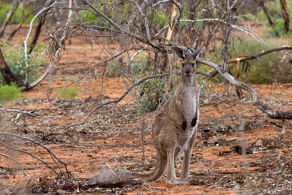 Eastern Grey Kangaroo (Macropus gianteus) - Gluepot, South Australia