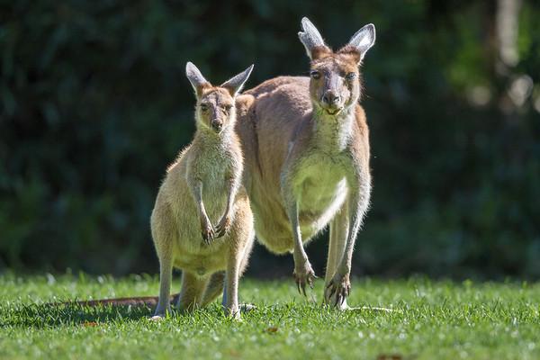 Kangaroo - Cheynes Beach, Western Australia