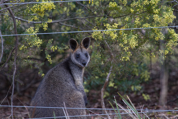 Wallaby - Clarkesdale, Victoria