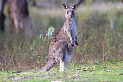 Kangaroo - Kara Kara National Park, Victoria