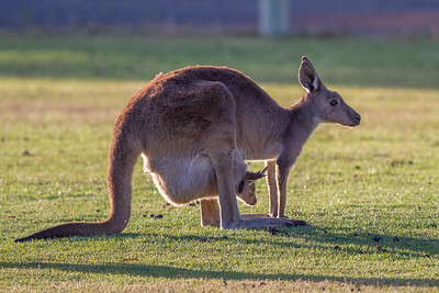 Kangaroo - Nhill, Victoria
