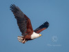(R 148) African Fish-eagle