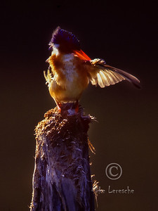 (R 431) Malachite Kingfisher