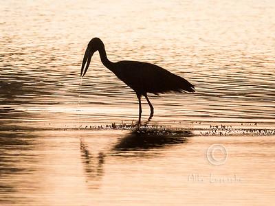 (R 087) African Openbill (Stork)