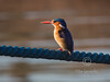 (R 431) Malachite Kingfisher