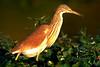 (R 072) Squacco Heron