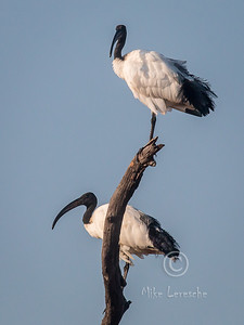 (R 091) Sacred Ibis