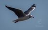 (R 315) Grey-headed Gull