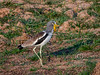 (R 259) White-crowned Lapwing (Plover)