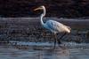 (R 066) Great (White) Egret