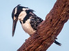 (R 428) Pied Kingfisher (f)