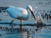 (R 067) Little Egret