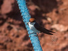 (R 522) Wire-tailed Swallow
