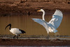 (R 066) Great (White) Egret (R091) Sacred Ibis