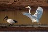 (R 066) Great (White) Egret (R091) Sacred Ibis