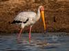(R 090) Yellow-billed Stork