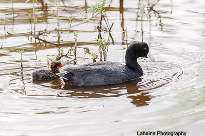 Hawaiian Coot parent with newly hatched chick.