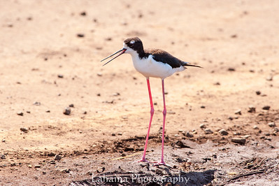 The Hawaiian stilt or Ae'o