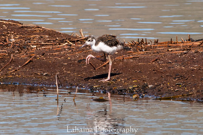 Hawaiian stilt or Ae'o chick.