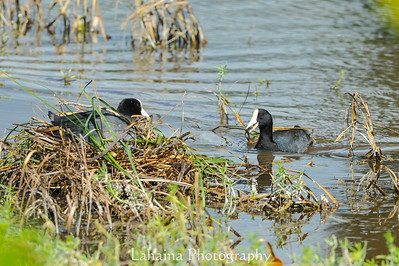 Coots nest building