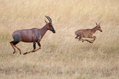 topi and baby, in flight, Masai Mara National Reserve, Kenya