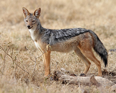 black-backed jackal, Lake Nakuru, Kenya