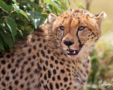 cheetah, after dinner, Masai Mara National Reserve, Kenya