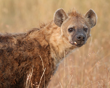 hyena, Masai Mara National Reserve, Kenya