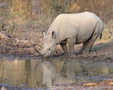black rhino, Lake Nakuru, Kenya