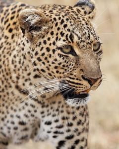 leopard, Masai Mara National Reserve, Kenya