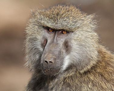 olive baboon, Masai Mara National Reserve, Kenya