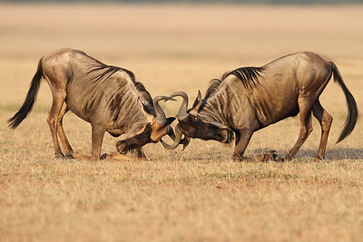 wildebeests sparring, Masai Mara National Reserve, Kenya