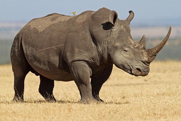 white rhino, Solio Rhino Ranch, Kenya