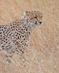 cheetah, Masai Mara National Reserve, Kenya