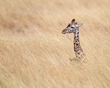 masai giraffe resting, Masai Mara National Reserve, Kenya
