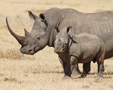 white rhino and baby, Solio Rhino Ranch, Kenya