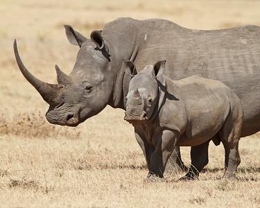 white rhino and baby, Solio Rhino Ranch, Kenya