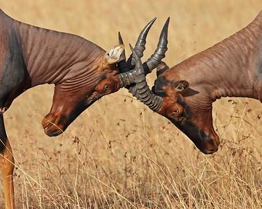 topi locking horns, Masai Mara National Reserve, Kenya