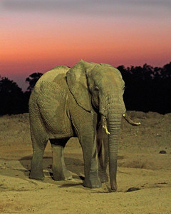 african elephant at sunrise, Ark Tree Lodge, Kenya