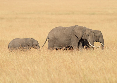 african elephants, Masai Mara National Reserve, Kenya