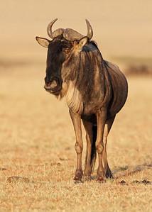 wildebeest, Masai Mara National Reserve, Kenya