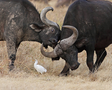 cape buffalo, cattle egret, Lake Nakuru, Kenya