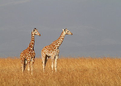 reticulated giraffes, Sangare Sanctuary, Kenya