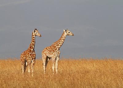 reticulated giraffes, Sangare Sanctuary, Kenya